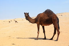 kamelflock sydliga qatar arkivbilder