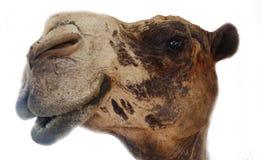 Kamelgesicht Stockfoto