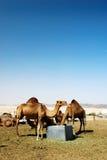 kamelgrupp Arkivfoto