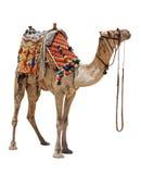 kamelhemhjälp Arkivfoto