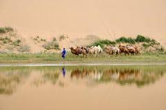 Kamelhusvagn i öknen arkivfoton