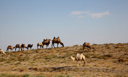 Kamelhusvagn i öknen Royaltyfria Foton