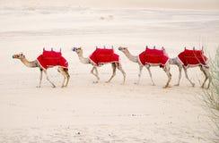 Kamelhusvagn i varm öken Arkivbilder