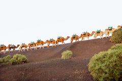 Kamelhusvagn som går på den Lanzarote ön Royaltyfria Foton