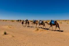 Kamelhusvagn som går till och med öknen Royaltyfri Bild