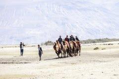 Kamelhusvagn som går till och med sanddyerna i den Nubra dalen Royaltyfria Foton
