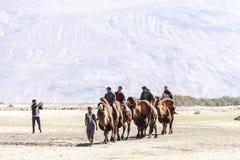 Kamelhusvagn som går till och med sanddyerna i den Nubra dalen Royaltyfria Bilder