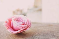Kamelia blommande blommaknopp på stenen, upp, färgrik och livlig växt, mall för naturlig bakgrund Royaltyfri Foto