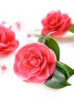 Kamelia och körsbärsröd blomning Royaltyfri Fotografi