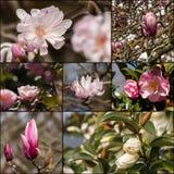 Kamelia- och magnoliablommor Royaltyfria Bilder