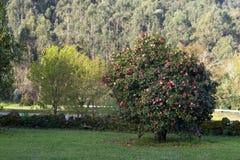Kamelia w drzewie w Galicia Spain Zdjęcie Stock