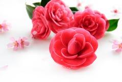 Kameliablommor och körsbärsröd blomning Royaltyfri Foto