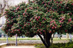 Kameliaträd royaltyfri bild