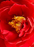 Kamelienblüte Stockfotos