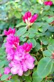 Kamelienblüte Lizenzfreies Stockbild