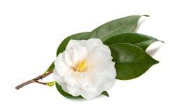 Kamelienniederlassung mit Blume lizenzfreies stockbild