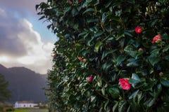 Kamelienstrauch mit roten Blumen, Azoren-Inseln Stockbild