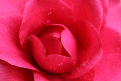 kameliowa czerwień Zdjęcia Royalty Free
