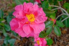 Kameliowi kwiaty Zdjęcia Royalty Free