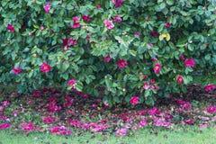 Kameliowy drzewny pełny kwiaty Zdjęcie Royalty Free