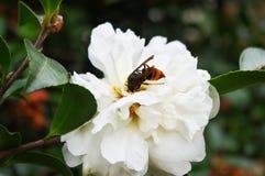 Kameliowy japonica ç™ ½ 山茶花 Fotografia Royalty Free