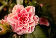 Kameliowy Japonica kwiat fotografia royalty free