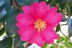 Kameliowy kwiat Zdjęcie Stock