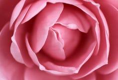 Kameliowy kwiat Obrazy Stock