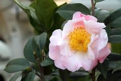 Kameliowy kwiat Fotografia Royalty Free