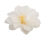 Kameliowy kwiat Zdjęcia Stock