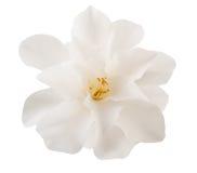 Kameliowy kwiat Obraz Stock