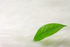 kameliowy liść Obrazy Stock