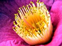 kameliowy sinensis Obraz Royalty Free