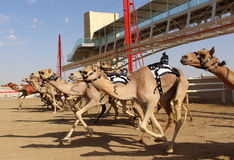Kamelkavalierstart s in Dubai Lizenzfreies Stockbild
