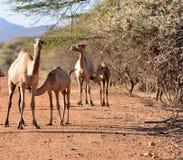 Kamelkrankenpflege von seiner Mutter in der afrikanischen Wüste Lizenzfreies Stockfoto