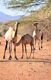 Kamelkrankenpflege von seiner Mutter in der afrikanischen Wüste Stockbild