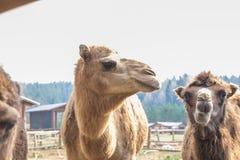 Kamellantg?rd i den Raksi zoo Stora cammels i v?r Loppfoto 2019 royaltyfria bilder