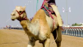 Kamellaufen in Dubai stock video