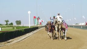 Kamellaufen in Dubai stock video footage