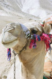 kamelleende Arkivbilder