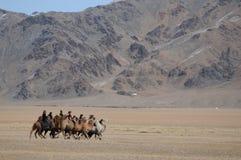Kamellopp i bergen av Mongoliet under den guld- Eagle Festival royaltyfria bilder