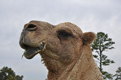 kamellunch Royaltyfri Foto
