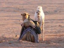 Kamelmamma och babe Arkivfoton