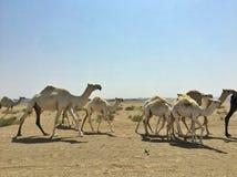 Kamelmigration lizenzfreie stockfotografie