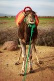 kamelmorocco stående Arkivbild