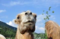 kamelmorocco stående Royaltyfri Fotografi