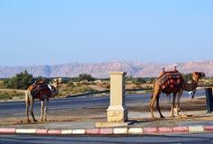 Kamelparklücke Stockfoto