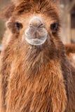 Kamelporträt Stockbild
