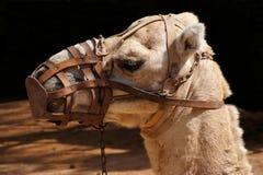 Kamelporträt Stockfotos