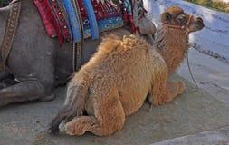 Kamelreiten Stockfoto